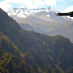 Andean Condor at the Cruz del Condor